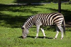 Grazing Chapman's zebra, Equus quagga Chapmanni Stock Photography