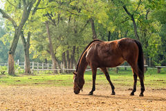 Grazing Chestnut Brown Horse on the Farm Royalty Free Stock Image