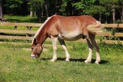 Grazing chestnut horse Royalty Free Stock Photo