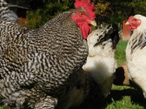 Grazing Chickens Royalty Free Stock Photography