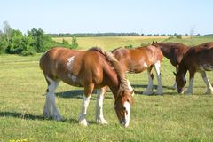 Grazing Clydesdale stock photo