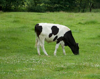 Grazing Cow Stock Photography