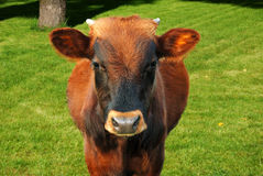 Grazing cow. On a green meadow Stock Photos