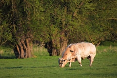 Grazing Cow. Cow grazes in a field in South East England just before the summer Stock Photography