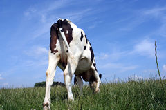 Grazing cow. A grazing cow in pasture: picture taken from behind the cow Royalty Free Stock Images