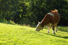Grazing cow. On a hill during summer Royalty Free Stock Images