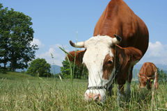 Grazing cow. A Grazing alpine cow with her calve at the background Royalty Free Stock Image