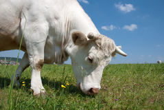 Grazing cow Royalty Free Stock Photos