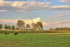 Grazing cow. In sunset at Chitwan, Nepal Stock Image