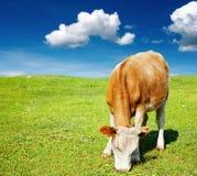 Grazing cow Stock Photo