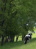 Grazing Cow. A Holstein dairy cow grazing in the shade of trees Royalty Free Stock Photo