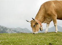 Grazing Cow Stock Photo