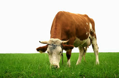 Grazing Cow. Cow grazing on a beautiful green Meadow Royalty Free Stock Photo