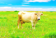 Grazing cow royalty free stock image