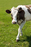 Grazing cow Stock Image