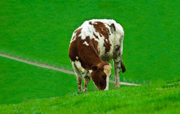 Grazing cow. A female cow grazing alone in a field of lush green fresh grass stock photos
