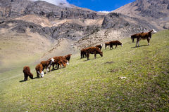 Grazing cow in an alpine meadow in the mountains of the Caucasus. Stock Images