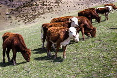 Grazing cow in an alpine meadow in the mountains of the Caucasus. Stock Image