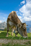 Grazing Cow in the Alps Royalty Free Stock Photos