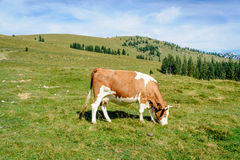 Grazing cow in the alps. Single grazing cow in the austrian alps Royalty Free Stock Photography