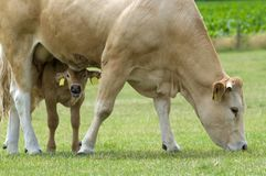 Grazing Cow with Baby. Grazing cow with her baby playing hide and seek royalty free stock images