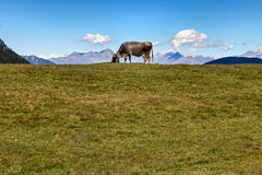 Grazing cow. In the background of the dolomite mountains Royalty Free Stock Photo