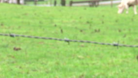 Grazing cow and barbed wire rack focus with zoom Stock Photography