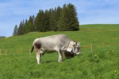 Grazing cow with beautiful bell Royalty Free Stock Images