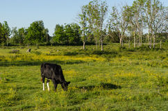 Grazing cow in a bright colorful pasture land. One grazing young cow in a bright and colorful pasture land at the swedish island Oland Royalty Free Stock Image