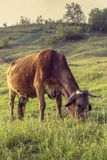 Grazing cow. Brown grazing cow in the green meadow at countryside Royalty Free Stock Photos