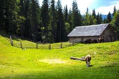 Grazing cow in Carpathian Stock Image