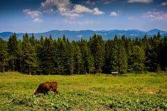 Grazing cow in Carpathian Royalty Free Stock Photos