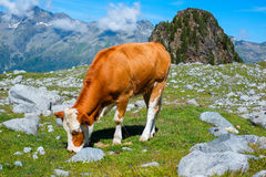Grazing cow. Cow grazing close to Vedrette di Ries, Aurina Valley, South Tirol, Italy Royalty Free Stock Photos