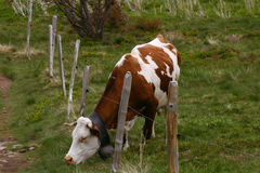 Grazing cow with a fence. On green grass Royalty Free Stock Images
