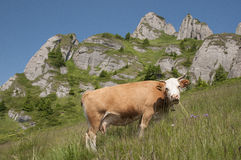 Grazing Cow. On a field lit by the sun, with Ciucas Mountains on the background Royalty Free Stock Photo