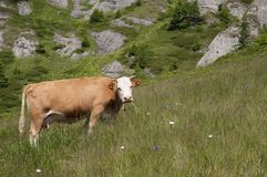 Grazing Cow. On a field lit by the sun, with Ciucas Mountains on the background Royalty Free Stock Photography