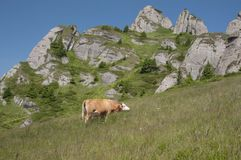 Grazing Cow. On a field lit by the sun, with Ciucas Mountains on the background Royalty Free Stock Photos