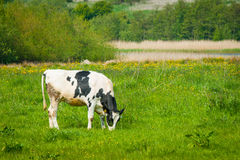 Grazing cow on a green field Stock Photo
