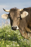Grazing cow Stock Image