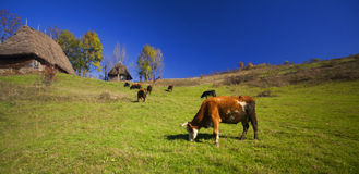 Grazing cow in a green meadow. Ecological small agriculture concept Stock Photography