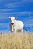 Grazing cow. On the hill in summer Royalty Free Stock Images