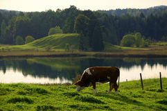 Grazing Cow in idyllic landscape Stock Photos