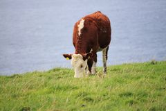 Grazing cow in Ireland. Grazing cow at the scenic coast of Dingle, Western Ireland Stock Photo