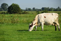 Grazing cow. In the meadow Stock Image