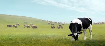 Grazing cow on a meadow Stock Image