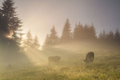 Grazing cow on morning meadow Stock Image