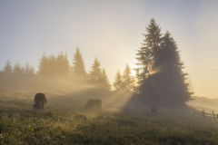 Grazing cow on  morning meadow Stock Photos