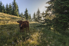 Grazing cow on  morning meadow Royalty Free Stock Photo