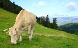 Grazing cow in the Pyrenees mountains. stock photo