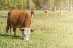 Grazing cow in mountain ranch. Altay Russia Stock Photos